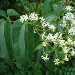 Heptacodium miconioides - Wojslawice, HGN 2010