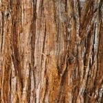 Korowina Sequoiadendron giganteum - Wojsławice, HGN