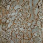 Korowina Ulmus parvifolia - Wojsławice, HGN