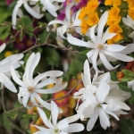 Magnolia stellata 'Waterlily' - Wojsławice, TN  23.042011