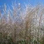 Miscanthus sinensis 'Blütenwunder' - Wojsławice, HGN