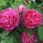 Rosa 'Rose de Resht' - Wojsławice, HGN