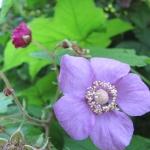 Rubus odoratus - Wojsławice, HGN VII.2009.