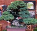 W dniach 30-31 maja w Arboretum w Wojsławicach odbyła się wystawa Bonsai