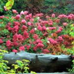 hydrangea-paniculata_vanille-fraise_tn-1o
