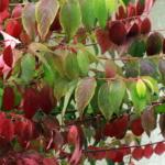 viburnum-plicatum-var-tomentosum_tn-2p