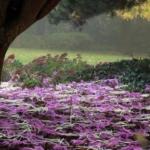 zimowit-jesienny-colchicum-autumnale