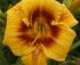 Zaproszenie do udziału w ocenie europejskich selektów i odmian liliowców (Hemerocallis)